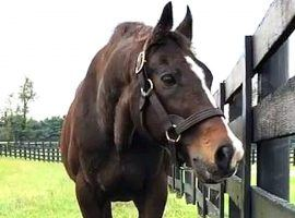 A.P. Indy won eight races in 11 starts, including the 1992 Belmont Stakes. But his stallion career was one of the most impressive in the annals of thoroughbred racing. (Image: WKYT)