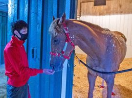 Japan-based France Go de Ina settled into his Pimlico stall last Saturday night. He'll be the first Japan-based horse running the Preakness Stakes since 2016. (Image: Jerry Dzierwinski/Maryland Jockey Club)