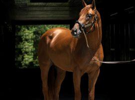 Florida Derby winner Known Agenda will begin his stud career in 2022 at Spendthrift Farm. He retired with three wins in eight career races. (Image: Autry Graham Photo/Spendthrift Farm)